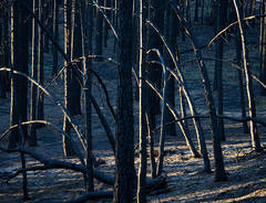 Alamo Mountain, Los Padres National Forest, black forest, burned forest, pine trees, Day Fire, photo, picture
