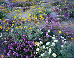 spring,desert wildflower,bloom,carpet,Borrego Valley,sand dunes,California,Desert Sunflower,Geraea canescens,Sand Verbena,Abronia villosa,Dune Evening Primrose,Oenothera deltoides,color,large format,p