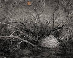 shelter, windblown, tumbleweed, Salsola tragus, Catclaw, Acacia, Acacia greggii, Joshua Tree, California