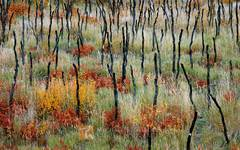 wildfire, blackened, trunks, Gambel's Oak, Quercus gambelii, Wasatch Mountains, Utah, grass, burned trees, fall color,