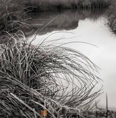 riverside, quiet, cattail, Typha angustifolia, curve, Amargosa, river, California, Mojave Desert
