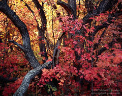 picture, photo, autumn, fall color, Wasatch Mountains, maple trees, fine art print