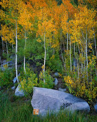 quiet, colorful, Quaking Aspen, Populus tremuloides, granite, boulders, Rock Creek Canyon, Sierra Nevada