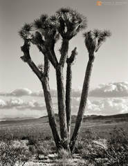 Joshua Trees,Yucca brevifolia,Rainbow Basin,Mojave Desert,monsoon clouds,cumulus,black and white,large format,photo,picture