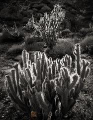 backlit, Buckhorn Cholla, Cylindropuntia acanthocarpa, glow, sun, Joshua Tree, California