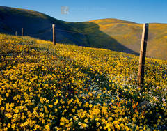vast, wildflowers, fields, coreopsis, Lupine, Gorman