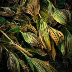 beauty, decay, elegant, graceful, Corn Lily, Veratrum californicum, autumn, color, death, Yosemite National Park, California