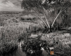 submerged, Cottonwood, tree, Populus, Cattails, Typha, Owens River, Inyo Mountains, Owens Valley, California