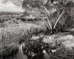 Owens Valley, cottonwood trees, pond, water, reeds, grasses, reflection, black and white, fine art photograph, fine art print, photo, picture