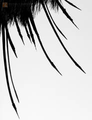 palm tree, petiole, Anza-Borrego, old, weathered frond, Washingtonia filifera, dagger, spear, Colorado Desert, Sonoran Desert,