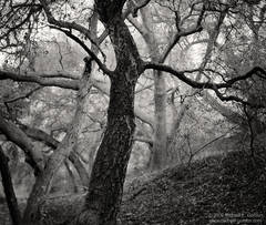 black and white, fine art photograph, fine art print, photo, picture, oak trees, dusk, dancing, form