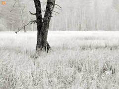 black and white, fine art, photograph, print, photo, picture, misty, msyterious, fog, meadow, cottonwood, trees, grasses, wildflowers, winter, autumn,