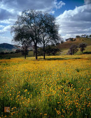 Menzies', Fiddleneck, wildflowers, Amsinckia menziesii, oak, trees, Quercus, rolling, foothills, Sierra Nevada, California