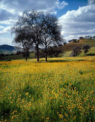 photo, picture, oak trees, California, rolling hills, spring, wildflowers, blue sky, clouds, dappled light