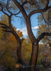 color,photo,picture,trees,Fremont,Cottonwood,Populus fremontii,dance,sway,beautiful,autumn,fall,blue,yellow,gold,warm,glow,brilliant,clouds,sky,bark,furrowed,rough,Death Valley