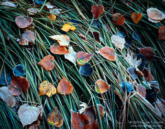 photo, picture, frost, cottonwood leaves, grass, autumn, fall color