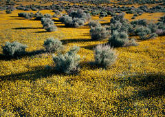 photo, picture, print, Antelope Valley, Goldfields, Lasthenia californica, yellow wildflowers