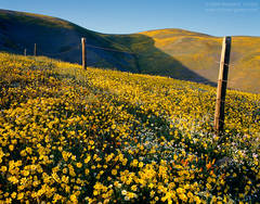 photo, picture, Gorman, yellow wildflowers, Coreopsis, blue sky, fence line