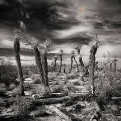Joshua trees, Yucca brevifolia, unusual, Mojave desert, clouds, sky, cirrus, Indian Summer