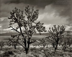 fine art photo, picture, fine art photograph, fine art print, black and white, b/w, Joshua Tree, Yucca brevifolia, Mojave Desert, California