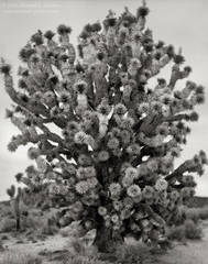 fine art, photo, picture, photograph, print, black and white, b/w, Joshua Tree, Yucca brevifolia, Mojave Desert, California
