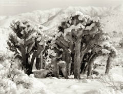 Joshua Trees, Yucca brevifolia, family, group, Sierra Nevada, Walker Pass, mountains, winter, snow covered, Mojave Desert, California, black and white, large format, photo, picture, color