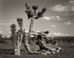 unusual, regrowth, prostrate, Joshua Tree, Yucca brevifolia, clouds, sky, Cima Dome, Mojave National Preserve, Mojave Desert, California, black and white, large format, photo, picture, color