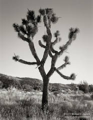 Joshua Tree, Yucca brevifolia, morning light, snakeweed, grass, New York Mountains, Mojave National Preserve, Mojave Desert, California, black and white, large format, photo, picture