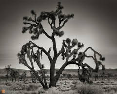 photo,picture,serene,morning,dawn,large,robust,giant,Joshua tree,Yucca brevifolia,Lost Horse Valley,mountains,hills,Joshua Tree National Park