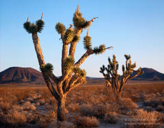 fine art photograph, color, photo, picture, large format, Joshua trees, Yucca brevifolia, sunrise, cinder cones, Mojave National Preserve, Mojave Desert, volcano, Cinder Cones National Natural Landmar