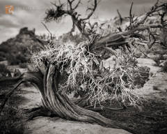 California Juniper, Juniperus californica, Joshua Tree National Park, Mojave Desert,