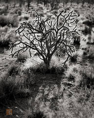 black and white, fine art photograph, fine art print, photo, picture, cholla, backlight, backlit