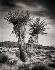 Mojave Yucca, Yucca shidigera, cirrus clouds, sky, Mojave National Preserve, Mojave Desert, flora, California, photo, picture