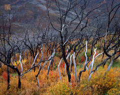 recovering, wildfire, burned, Gambel's Oak, Quercus gambelii, rich, autumn color, valley, Wasatch Mountains, Utah
