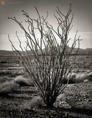 black and white, fine art photograph, print, picture, Ocotillo, Fouquieria splendens, Sonoran, Colorado