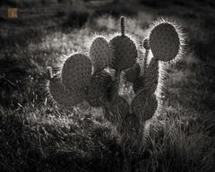 Pancake, Prickly-pear, Opuntia chlorotica, cactus, backlit, grass, delicate, Mojave National Preserve, California