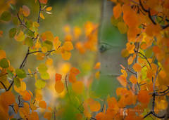 Quaking Aspen, bole, Populus tremuloides, peek, autumn, color, leaves, Rock Creek Canyon, Sierra Nevada