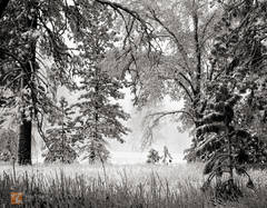 winter, snow, snowfall, snow-covered, meadow, pine trees, oaks, ethereal, atmosphere, peaceful, light, Yosemite Valley, Yosemite National Park, California, black and white, color, large format, photo