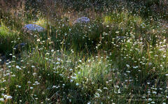 picture, photo, meadow, wildflowers, grass, Parish's Yampa, Perideridia parishii, Sierra Nevada, Rock Creek Canyon, landscape, fine art print