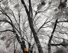 Leafless, winter, oak, trees, Quercus, rime, frost, Sierra Nevada, California