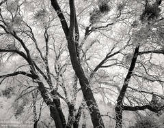 black and white, fine art photograph, fine art print, photo, picture, oak trees, rime ice, hoar frost, cold, frozen