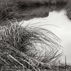 grass, Amargosa River, water, Death Valley, texture, design, black and white, fine art photograph, fine art print, photo, picture