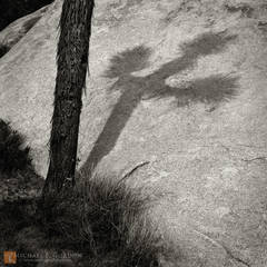 Joshua tree,Yucca brevifolia,shadow,cast,crucifix,cross,symbol,quartz monzonite,boulder,granite