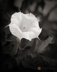 photo, photograph, picture, b&w, black and white, black & white, flower, blossom, perfume, night, blooming, bloom, Sacred Datura, Datura wrightii, Jimson weed, Devil's Weed, Yerba del Diablo, hallucin