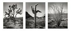 Yucca, Carnegiea, Fouquieria