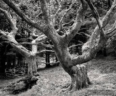 photo, picture, fine art print, black and white, oak trees, Scotland, Isle of Skye