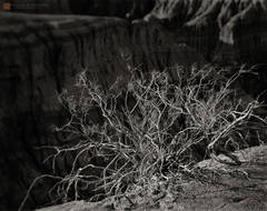 photo,picture,b/w,b&w,black and white,Creosote,shrub,Larrea tridentata,weathered,old,growth,ravaged,sunlight,shadows,edge,badlands,Ubehebe Crater,Death Valley,b&w