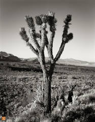 Joshua Trees,Yucca brevifolia,Mojave Yucca,Yucca schidigera,Mojave National Preserve,California,Providence Mountains,Granite Mountains,black and white,large format,photo,picture