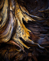 roots, wood, ancient, sculptural, detail, Jeffrey Pine, Pinus jeffreyi,