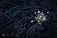 Mojave Aster, Xylorhiza tortifolia, pahoehoe, lava, Mojave Desert, pink, purple, black, solo, alone.